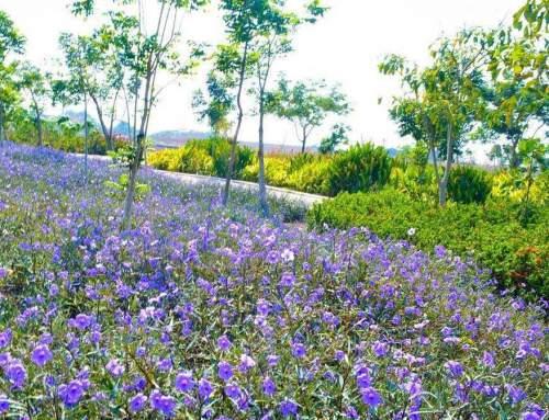 Taman Sakura Keputih: Wisata Keluarga Murah, Lanskap Memesona